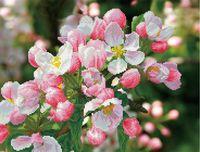 """Алмазная вышивка-мозаика """"Цветущая вишня"""""""