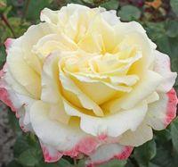 """Роза чайно-гибридная """"Афина"""""""