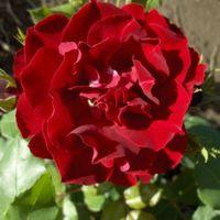 "Роза флорибунда ""Хэппи Уондерер"""
