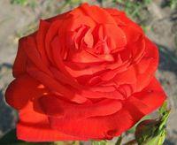 """Роза чайно-гибридная """"Лидка"""""""