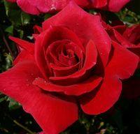 """Роза чайно-гибридная """"Опиум"""""""