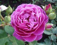 """Роза чайно-гибридная """"Хайди Клум"""""""