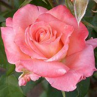 """Роза чайно-гибридная """"Бел Анжи"""""""