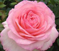 """Роза чайно-гибридная """"Эден"""""""