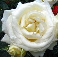"""Роза чайно-гибридная """"Шопен"""""""