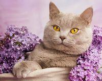 """Алмазная вышивка-мозаика """"Кот в сирени"""""""
