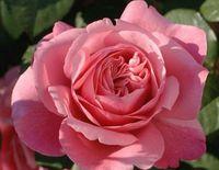 "Роза чайно-гибридная ""Коперник"""