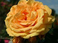 "Роза флорибунда ""Бернштайн Розе"""